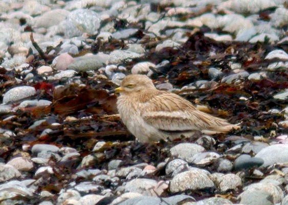 Stone Curlew - L'Eree Shingle Bank