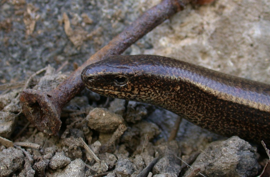 slow worm in the garden
