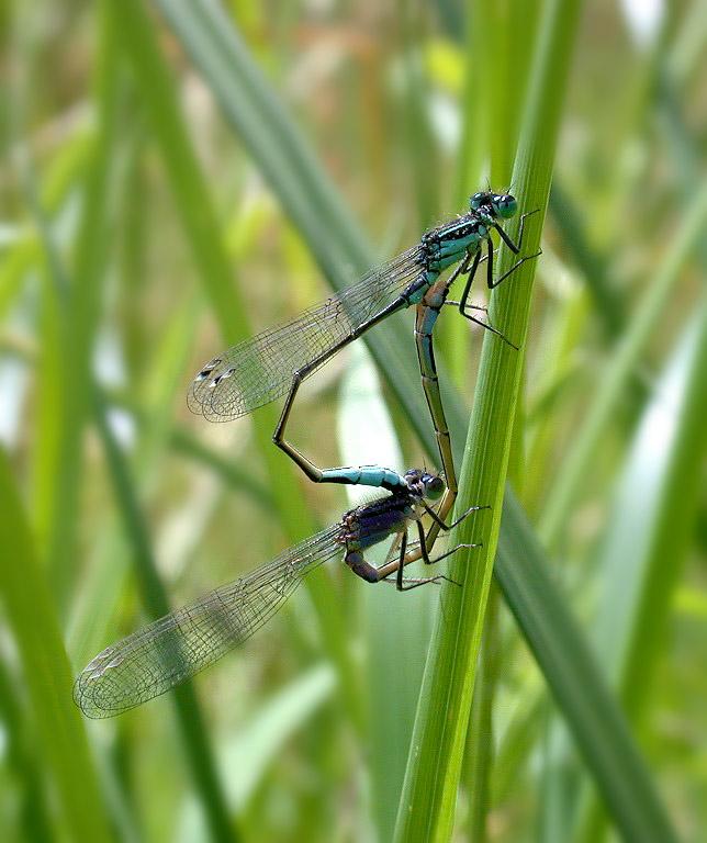 Blue-tailed Damselflies - Talbot Valley - June 10