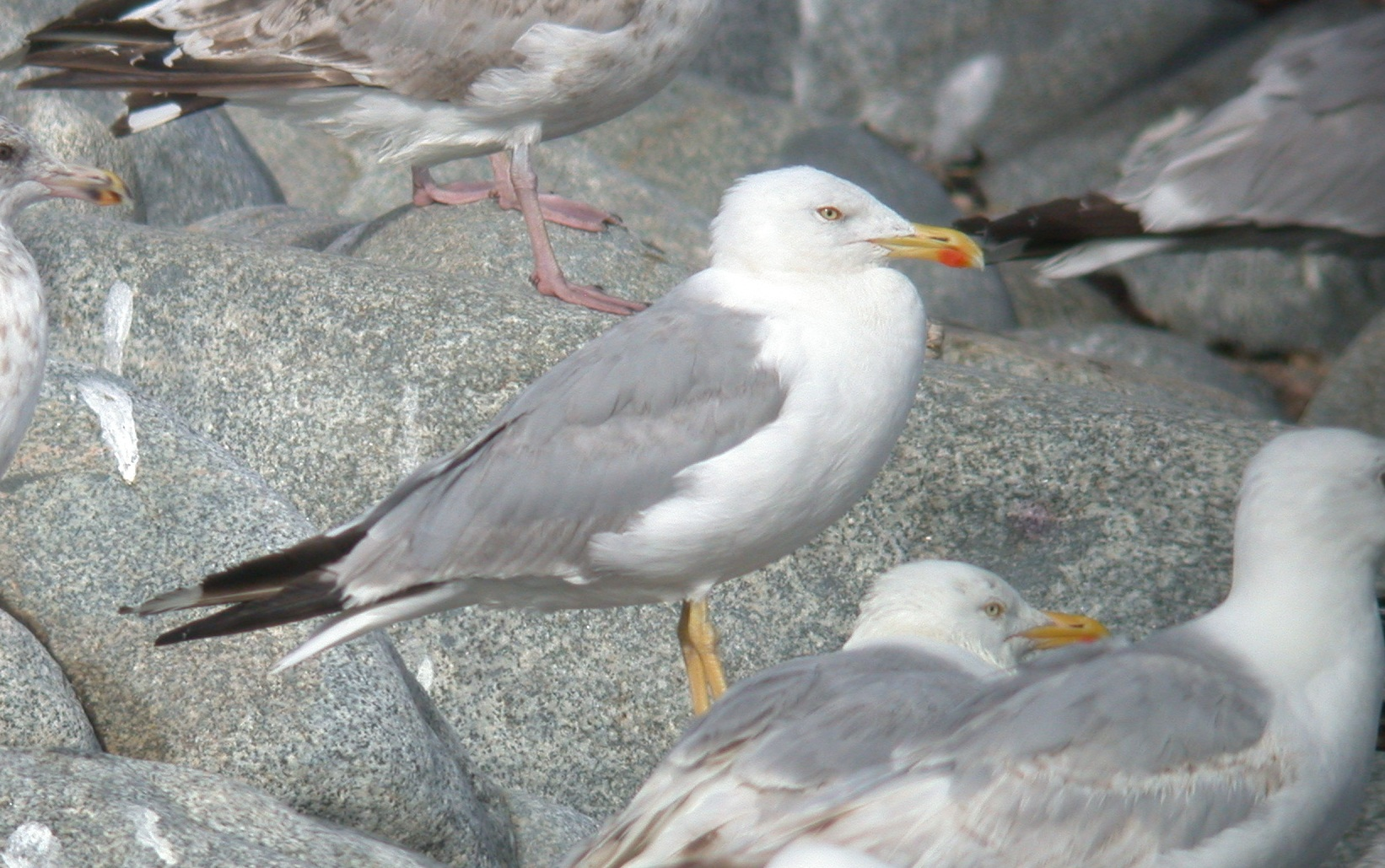 Yellow-legged Gull - Chouet Jul 10
