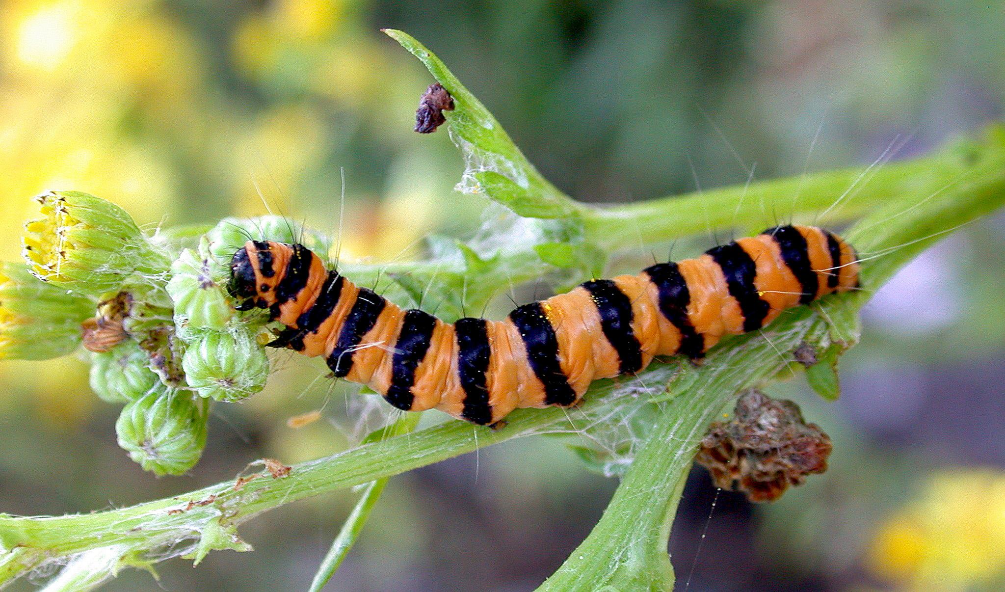 Cinnabar larva - Les Effards Jul 10