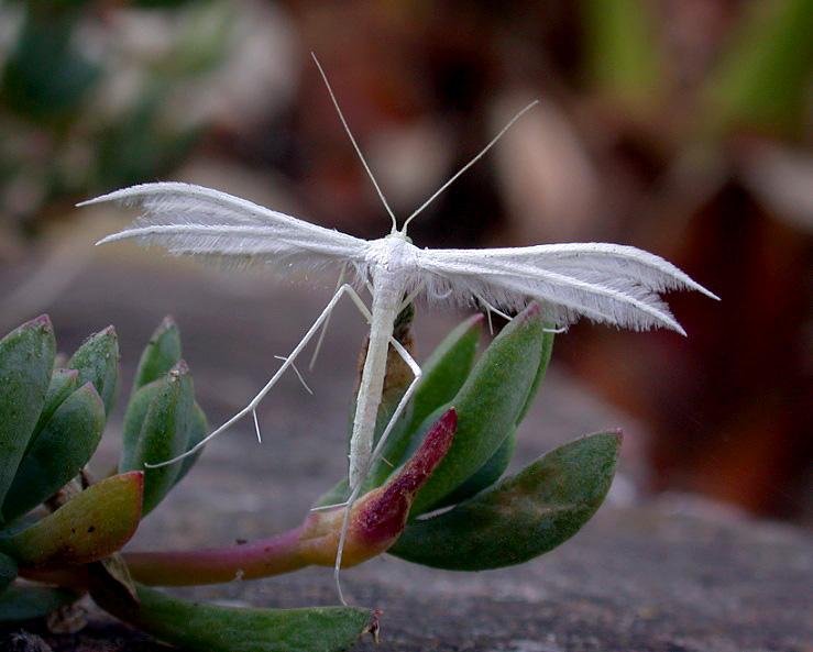 White Plume - garden Jun 10