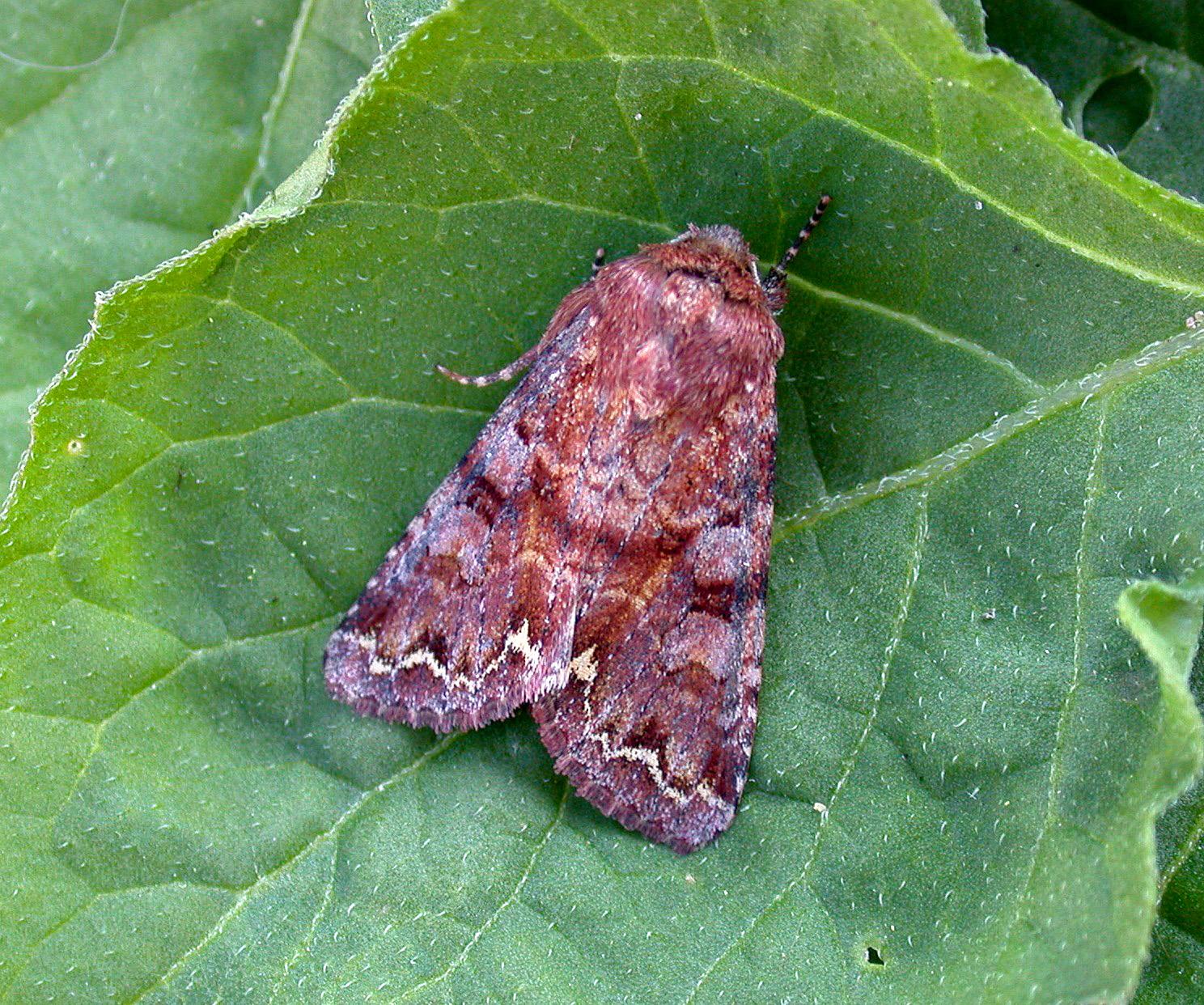 Broom Moth - garden Jul 10
