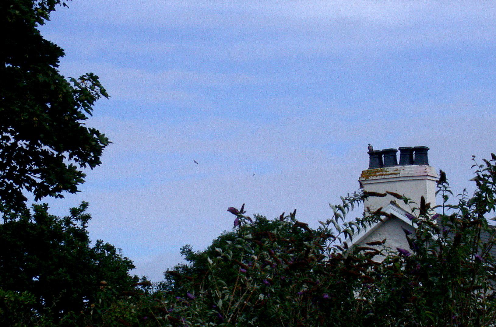 Black Storks - from garden - Aug 10