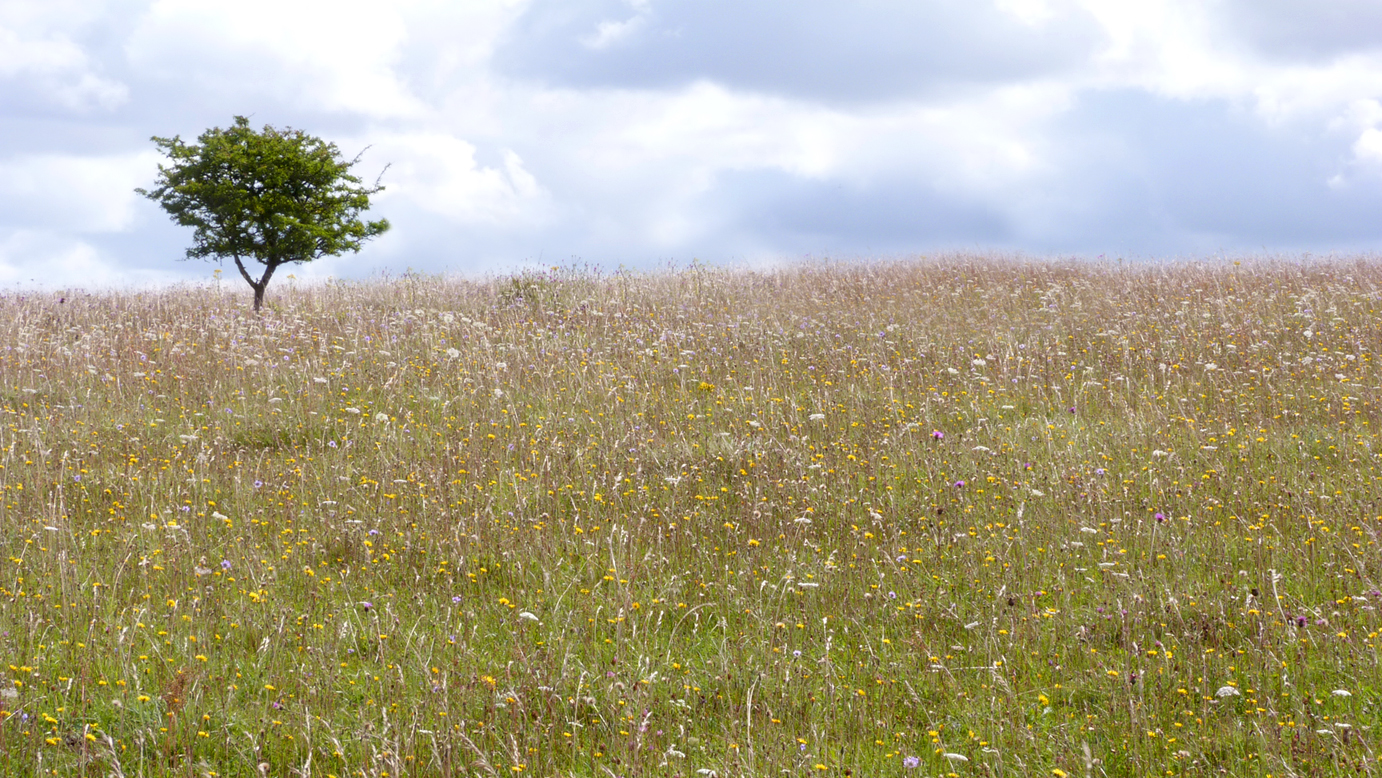 The meadows of Martin Down