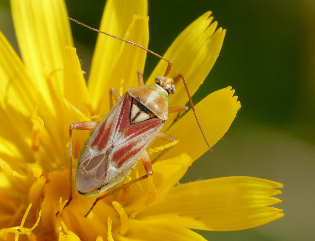 Calocoris roseomaculatus, Martin Down