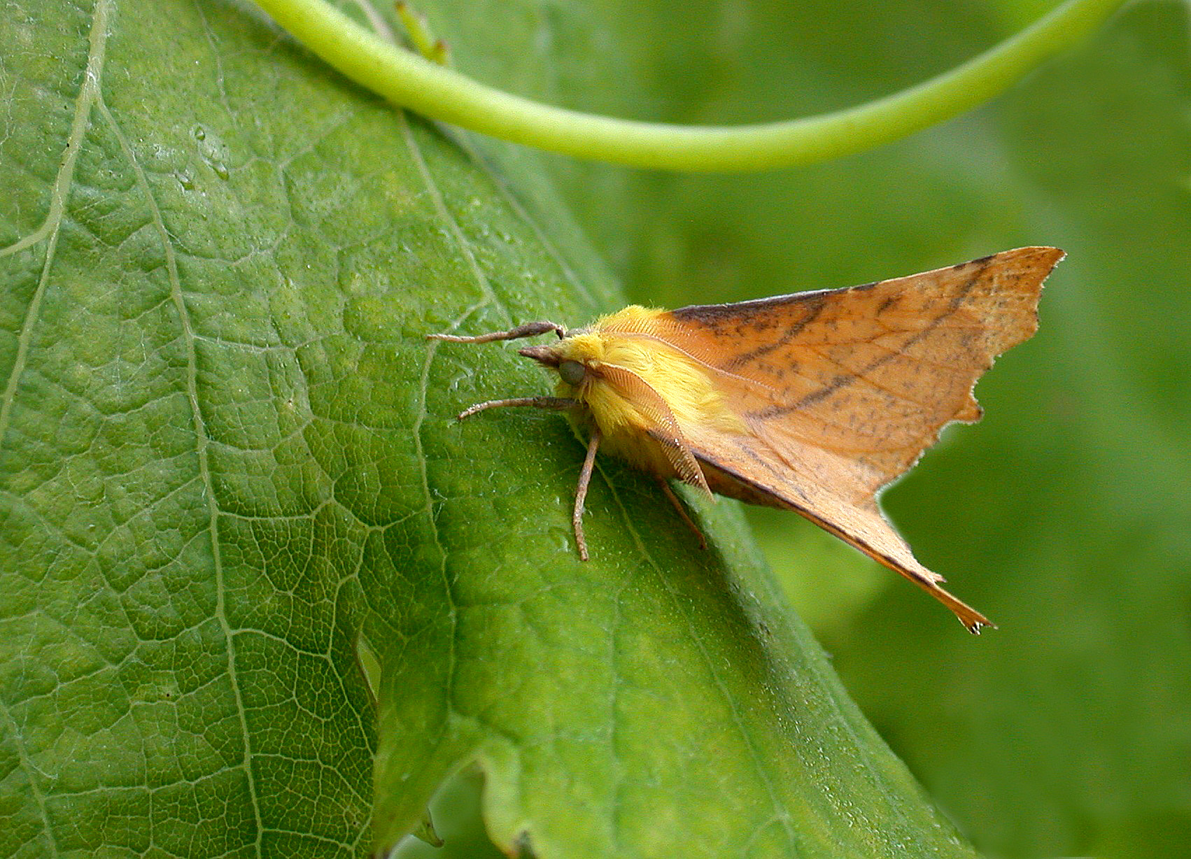 Canary-shouldered Thorn - garden, 3 Sep 10
