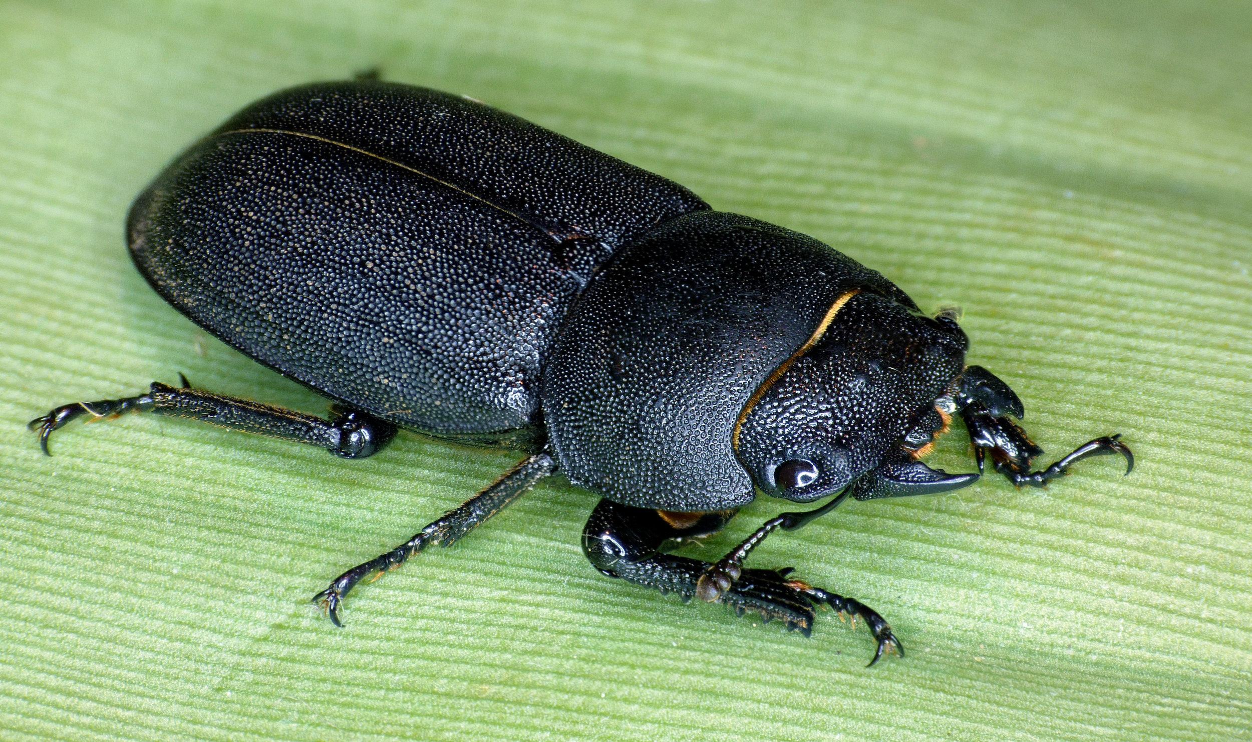 Lesser Stag Beetle - garden - 17Aug16