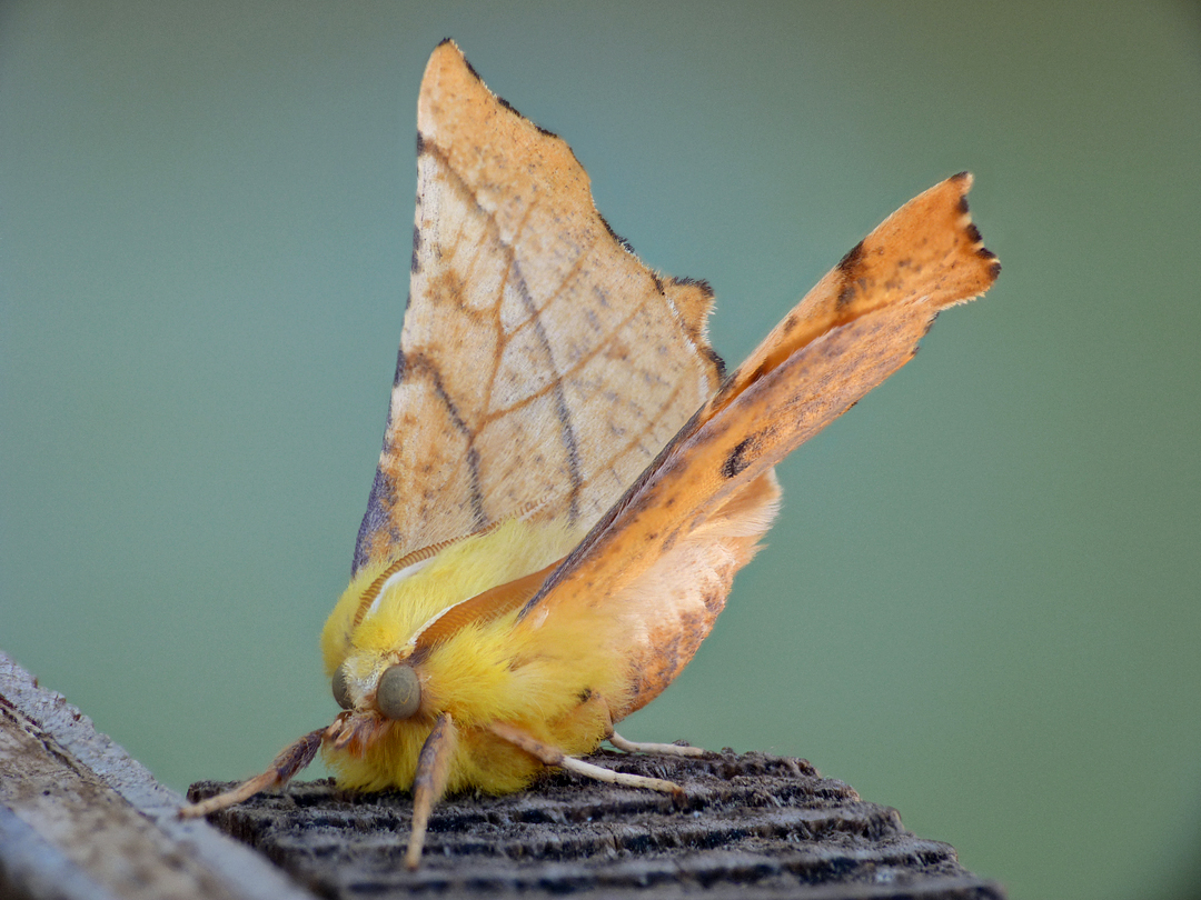 Canary-shouldered Thorn - garden - 14Aug16