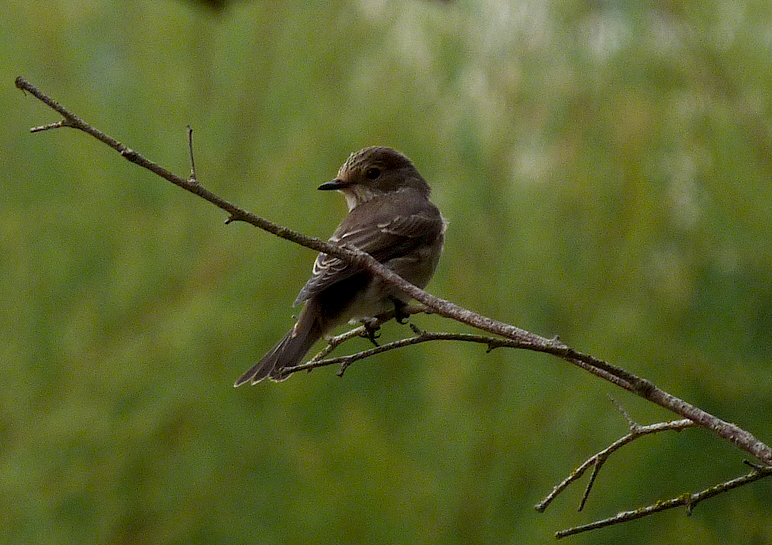 Spotted Flycatcher - Rousse - 17Aug16