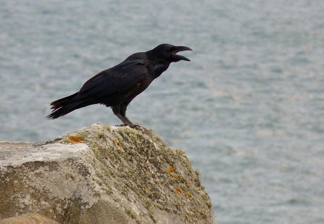 Raven - Pulias - 13 Sep 16