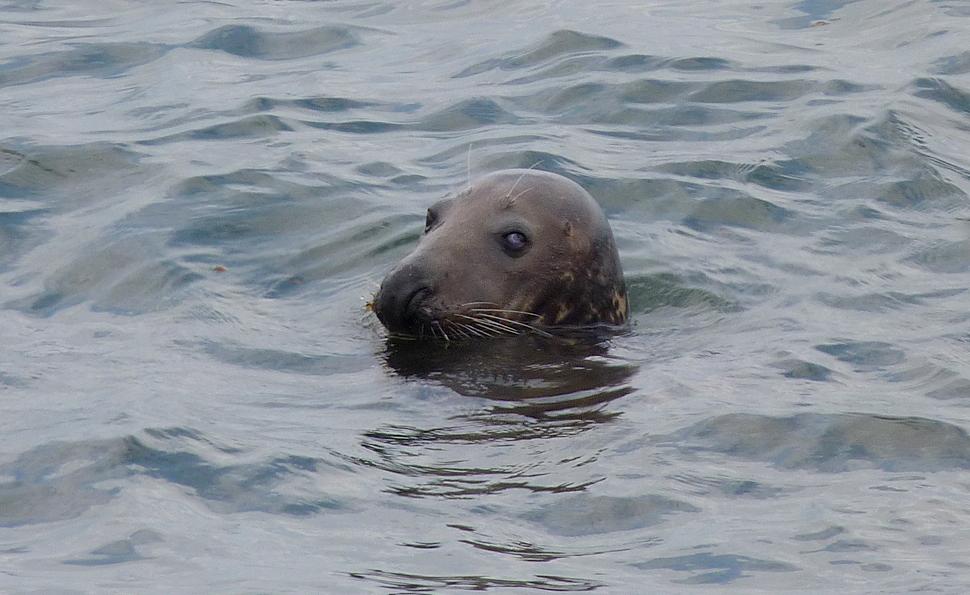 Grey Seal - Pulias - 13 Sep 16