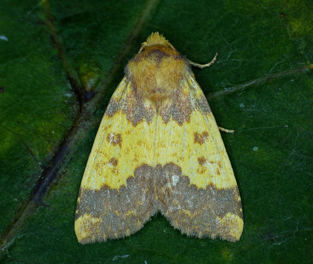 Barred Sallow - garden - 14 Oct 16 - a new species for the garden and rare in Guernsey with less than 10 records.
