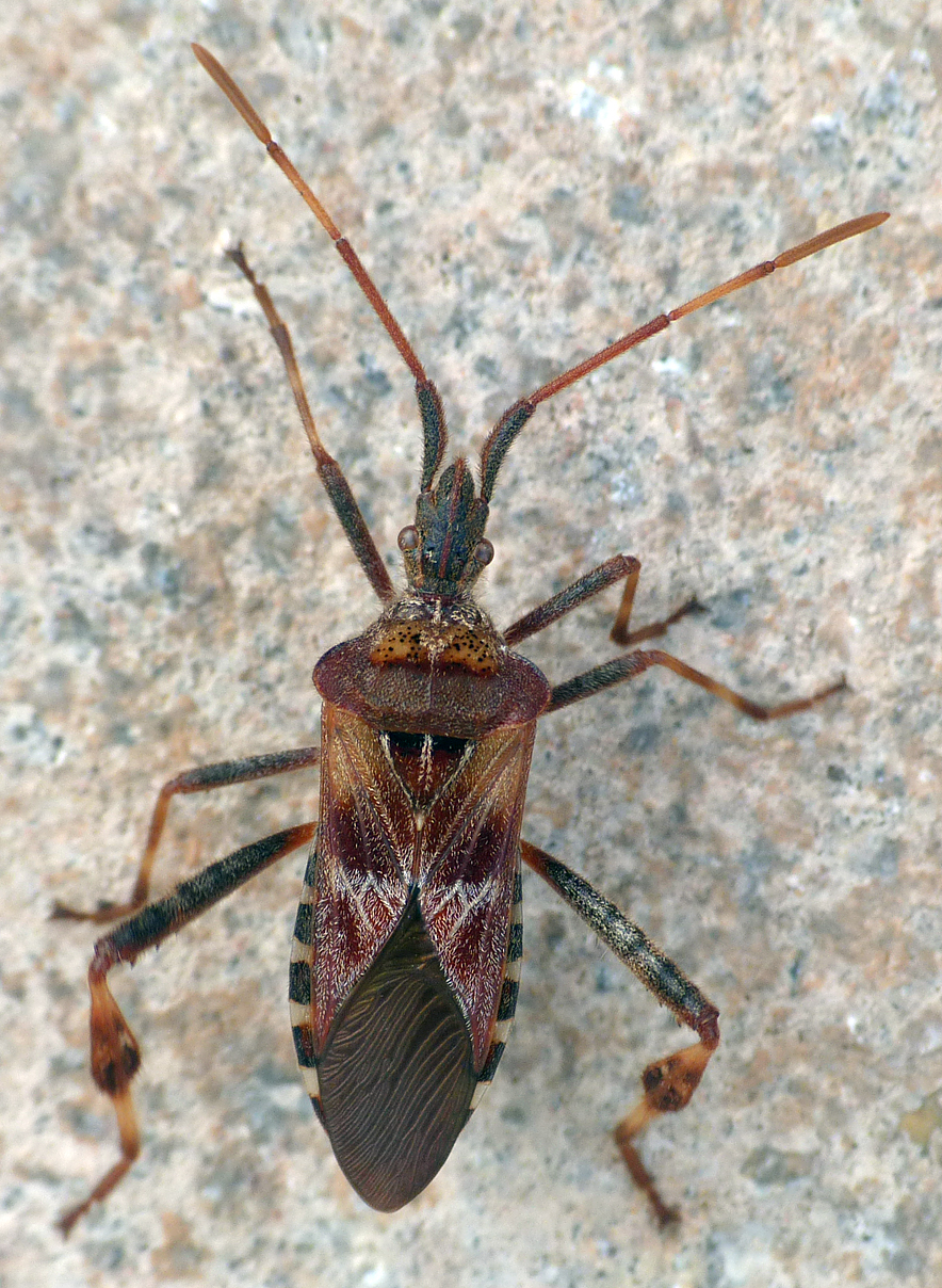 Western Conifer Seed Bug in the garden