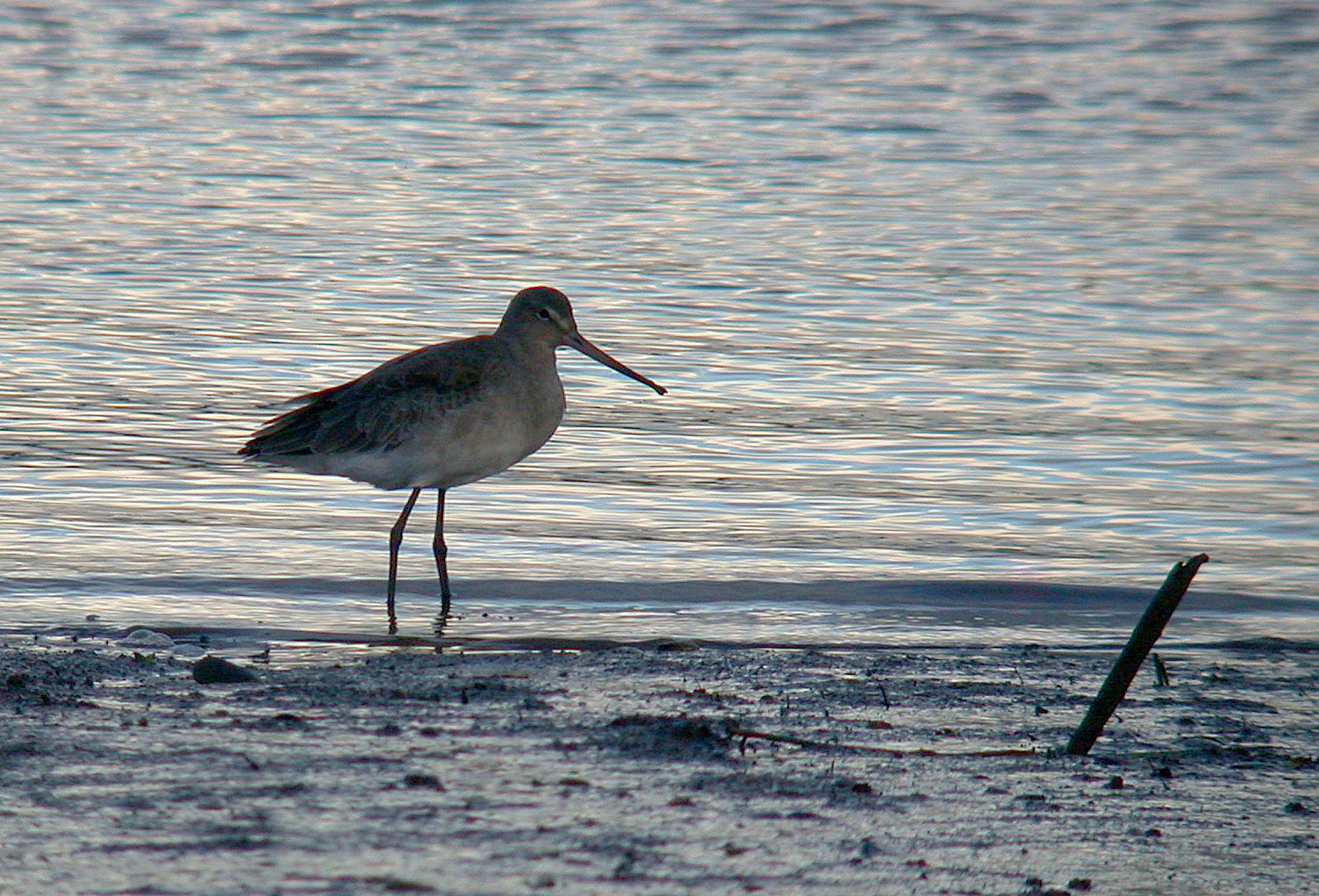 Black-tailed Godwit - Exe estuary
