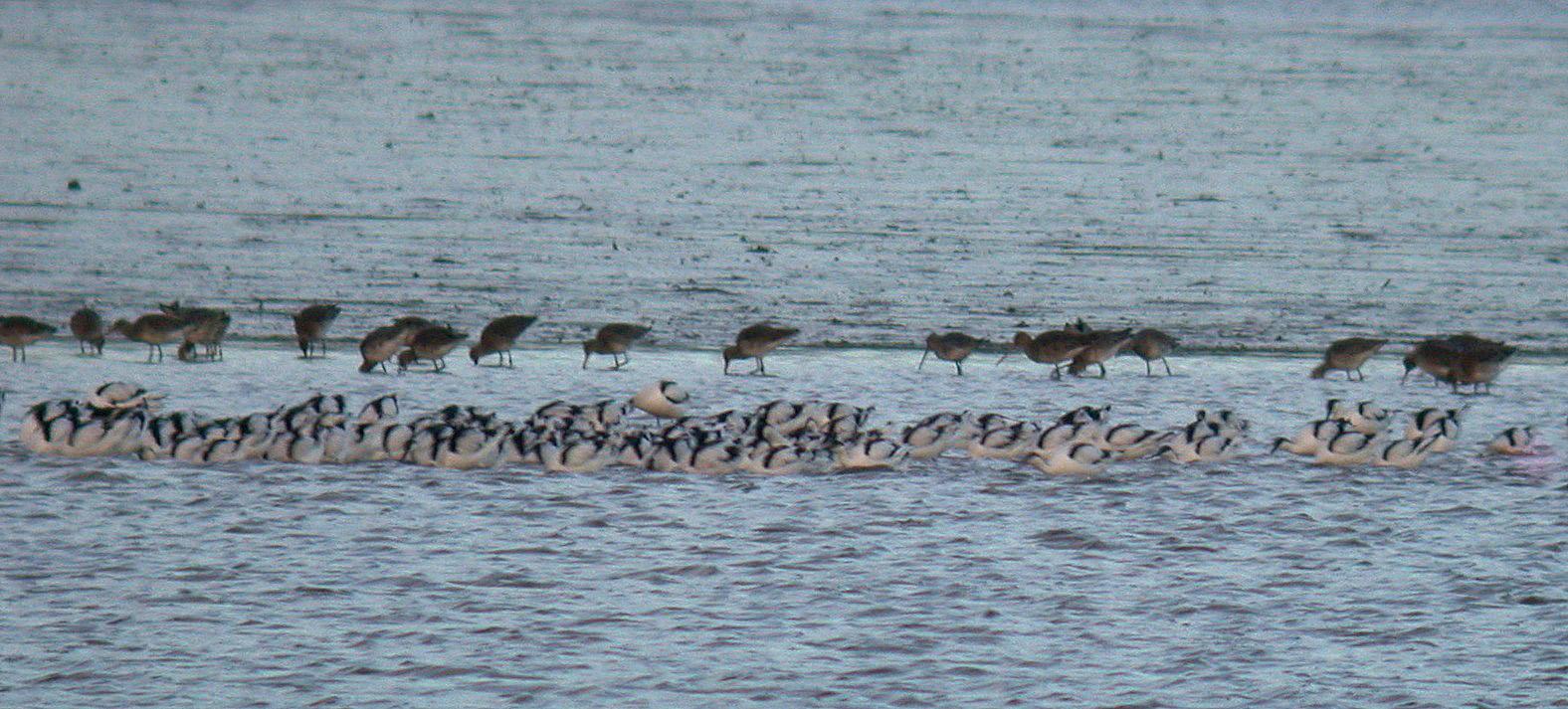 Avocets - Exe Estuary