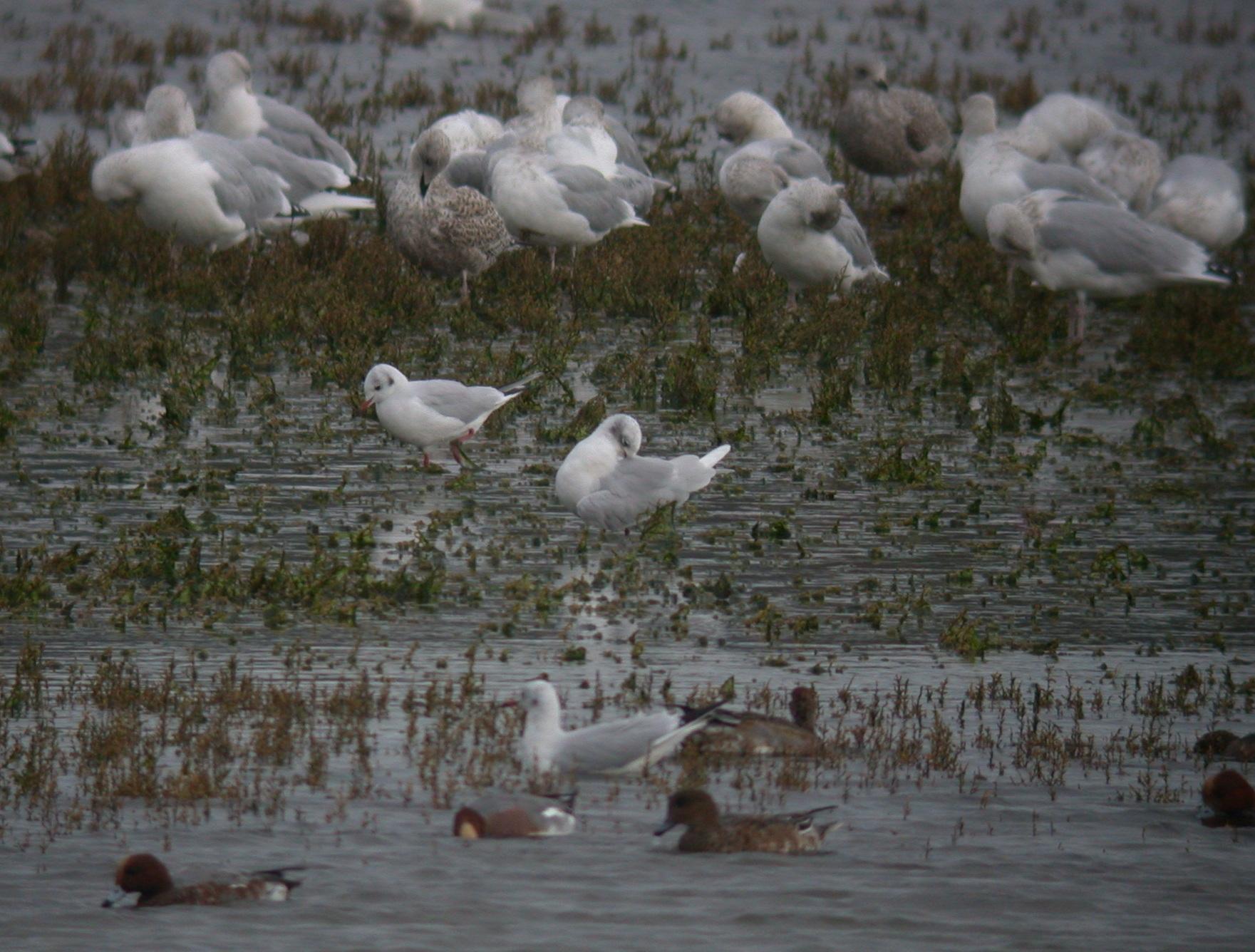 Med Gull - Hayle Estuary