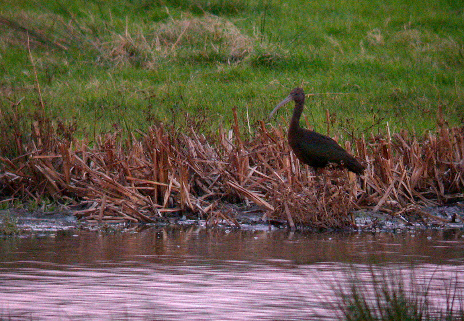 Glossy Ibis - Exminster Marshes
