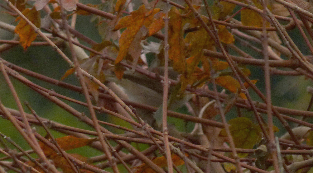 """""""Siberian"""" Chiffchaff - Rousse - 1 Nov 16 - even though you cannot see the head, note the pale brown back and whitish colour below."""