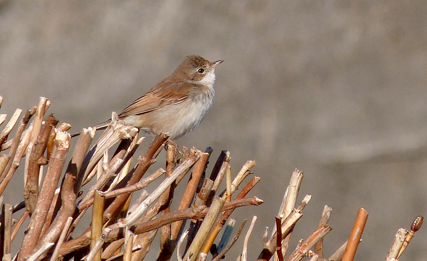 Whitethroat - Vazon - 17 Dec 16
