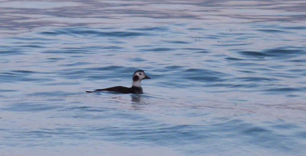 Long-tailed Duck - Pembroke - 17 Dec 16
