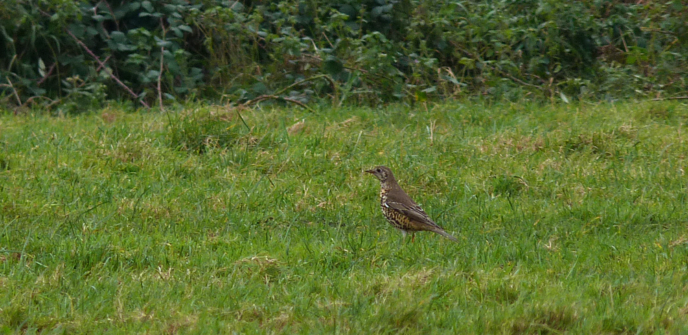 Mistle Thrush - nr Reservoir - 7 Dec 16