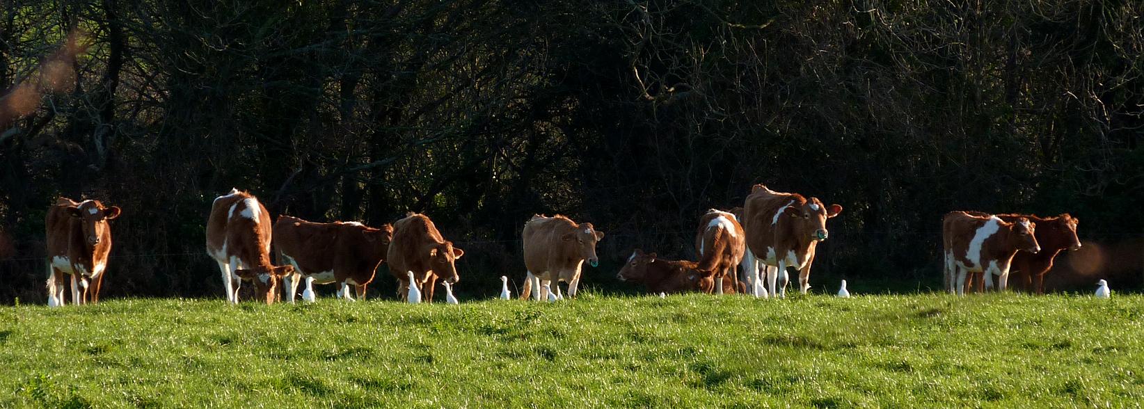 14 out of 15 Cattle Egrets - Raptor Ridge, Fauxquets - 22 Dec 16
