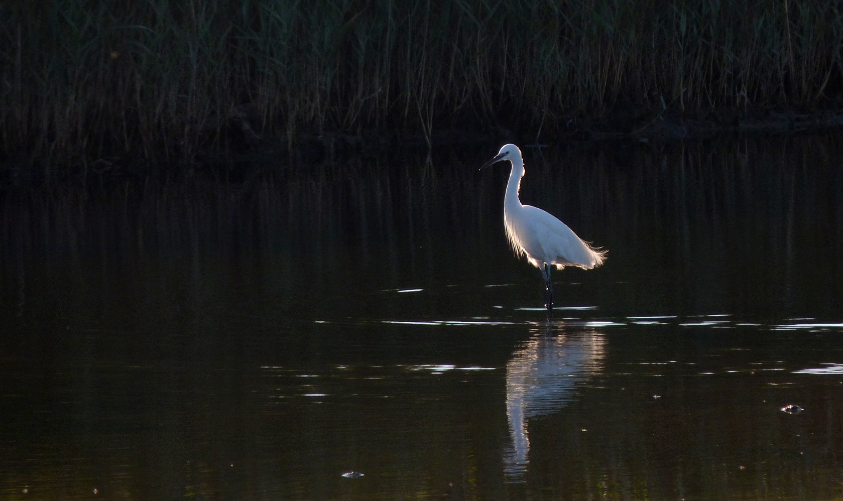 Little Egret at the Claire Mare in August