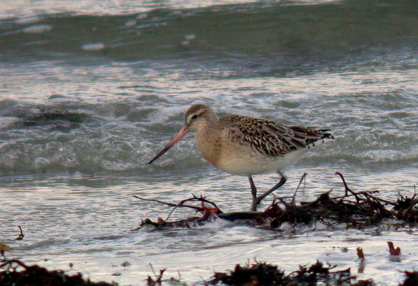 Bar-tailed Godwit - vazon - 15 Dec 10
