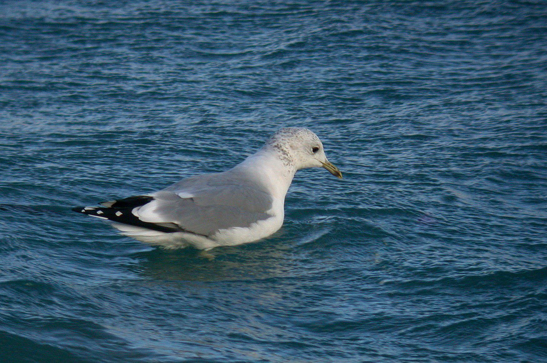 Common Gull - Chouet, 24 Dec 10