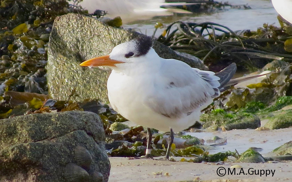 Royal Tern - Grandes Havres, (Mark Guppy)