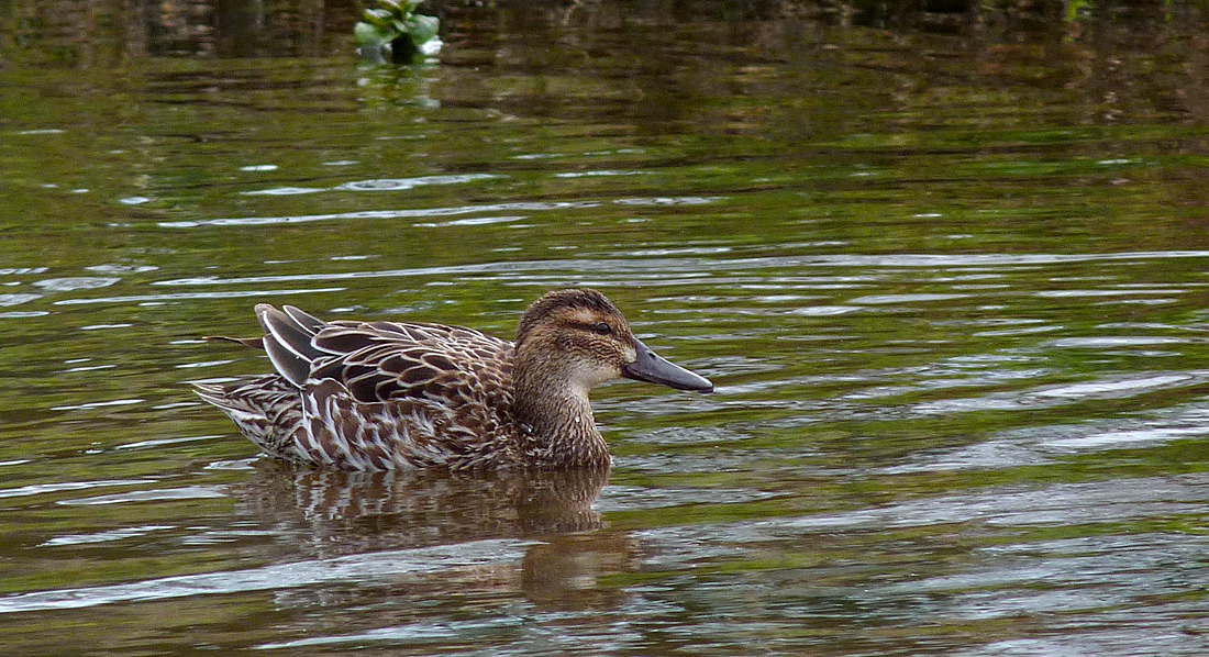 Female Garganey - Rue des Bergers, 17 Mar 17