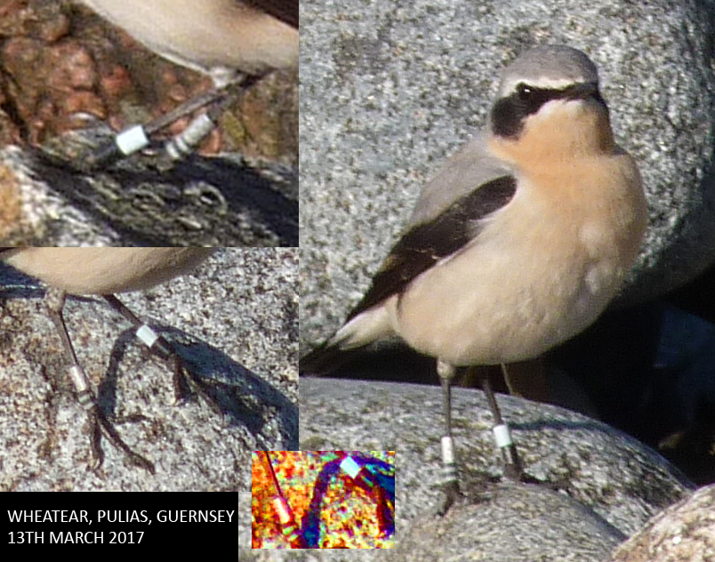 Colour-ringed Wheatear - Pulias, 13 Mar 17