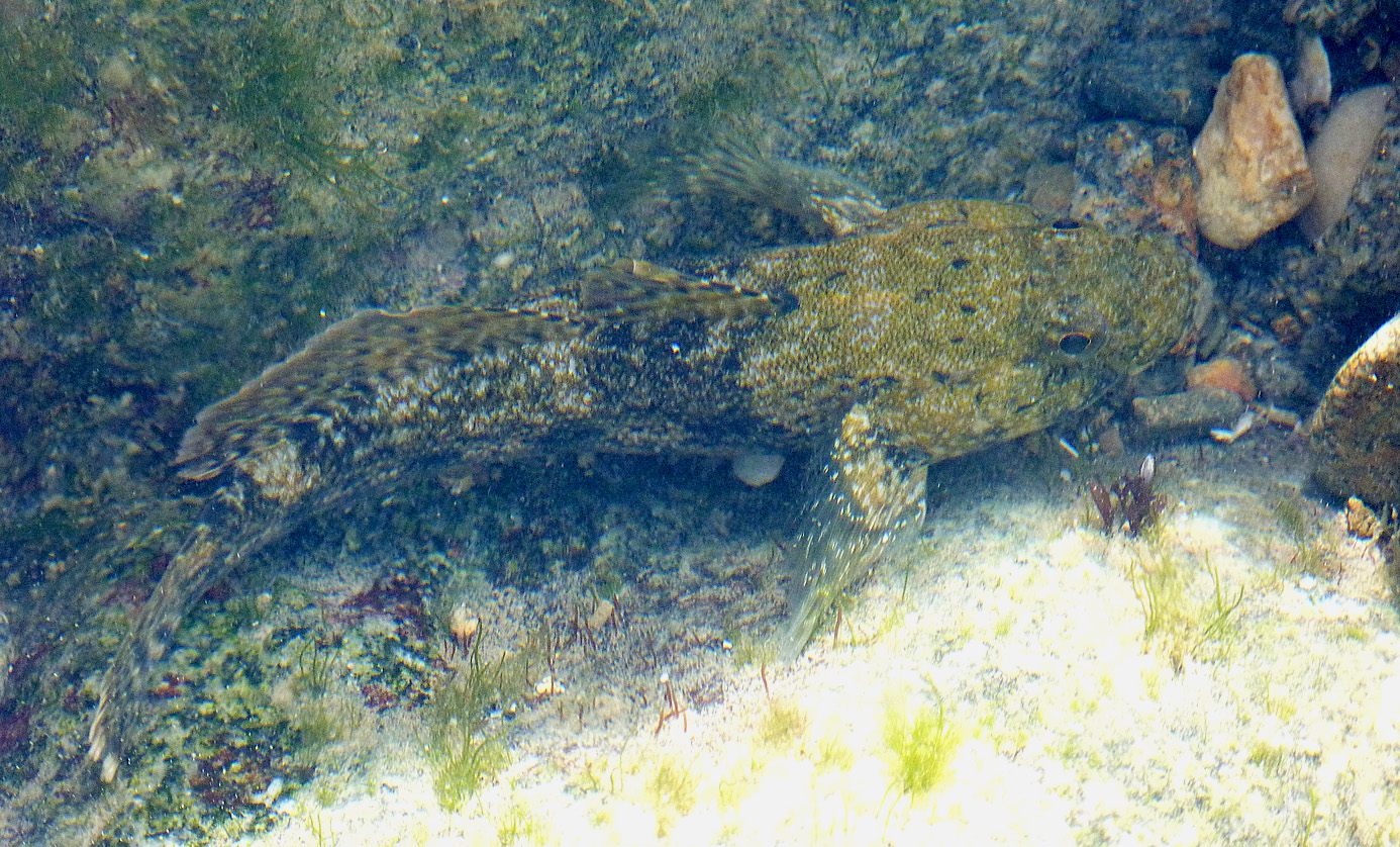 Giant Goby - Fort Doyle, 13 Apr 17