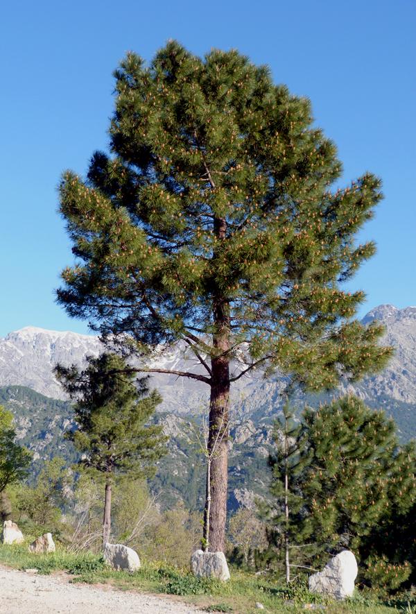 Corsican Pine, near Col de Sorba, Vivario