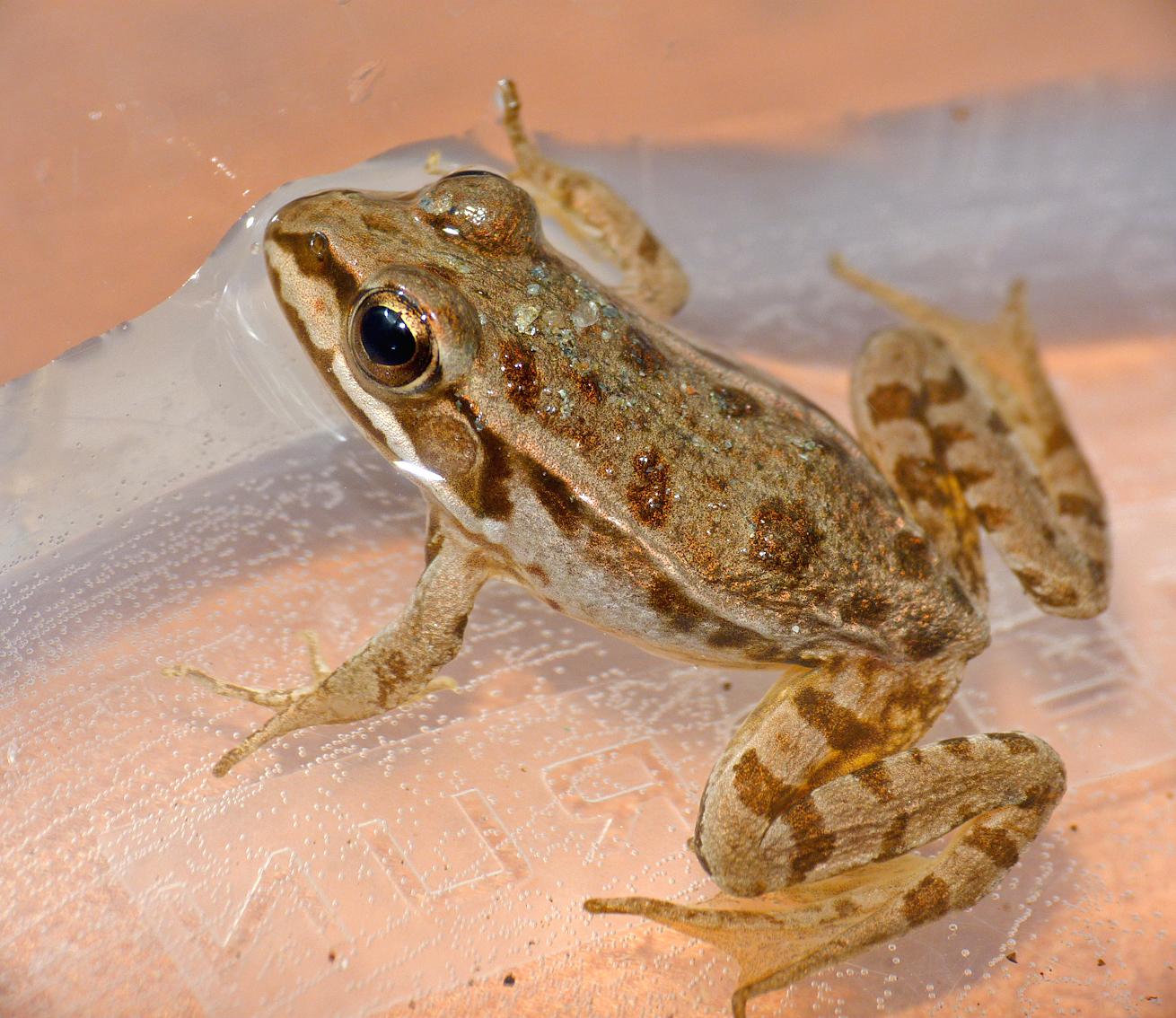 A young Pool Frog, U Sortipiani