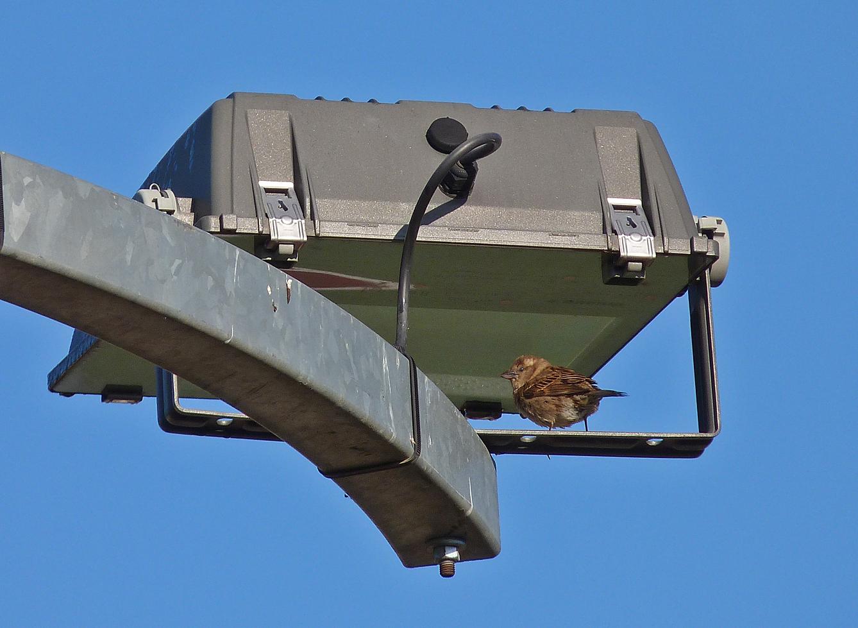 Female Italian Sparrow, Corte