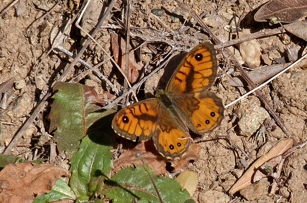 Corsican Wall Brown, Asco Gorge - much more orange and less brown colour than ours.