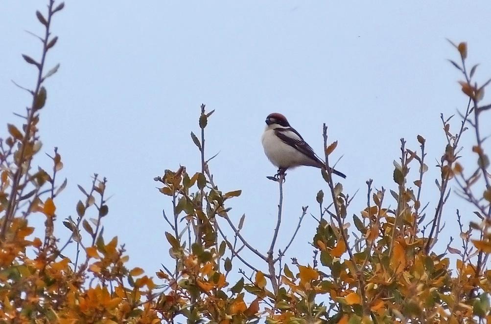 'badius' Woodchat Shrike, Aghione fields
