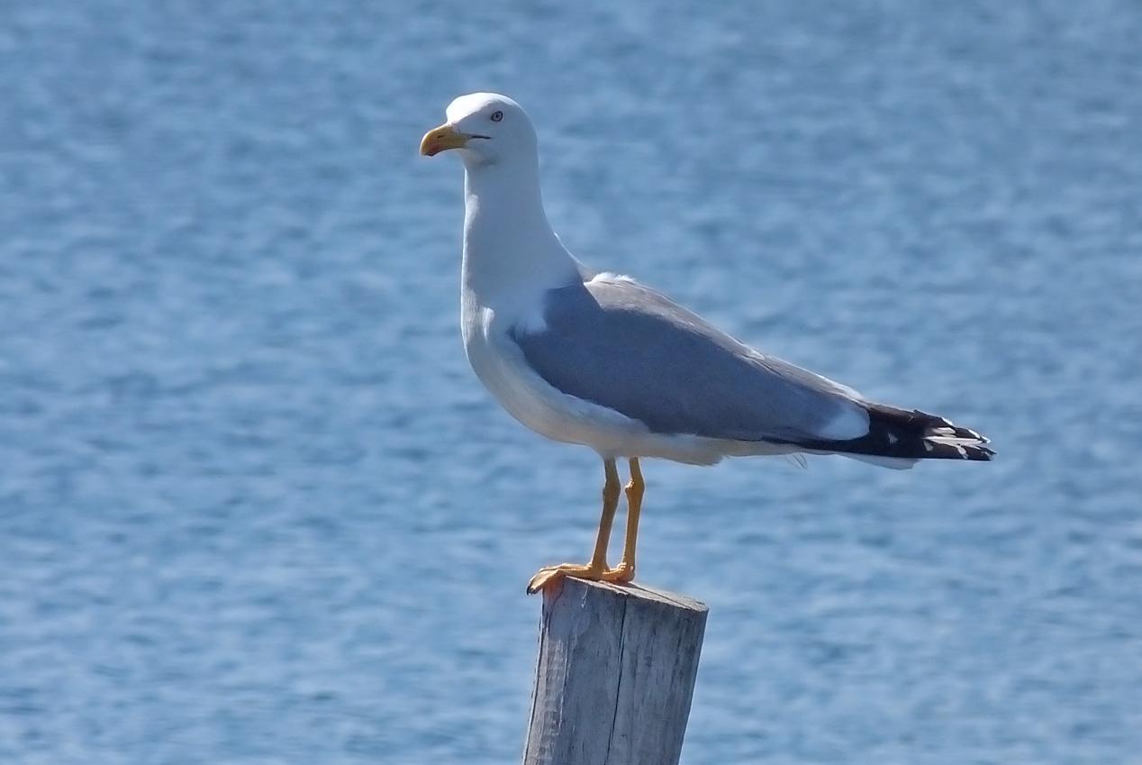 Yellow-legged Gull, Etang d'Urbino