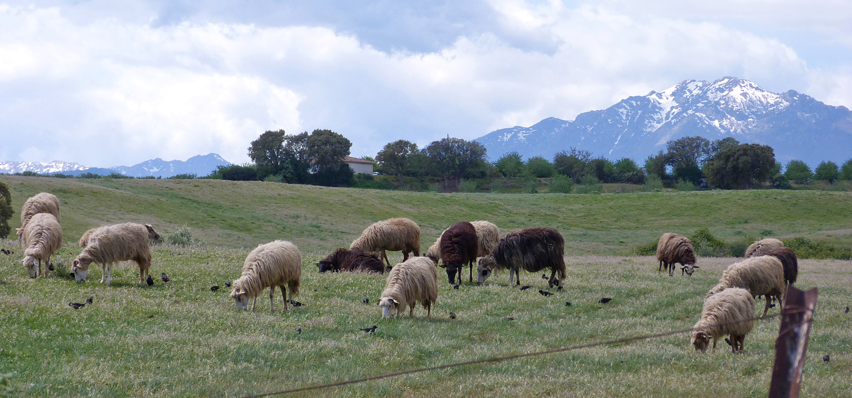 Spotless Starlings feeding amongst sheep, Etang d'Urbino