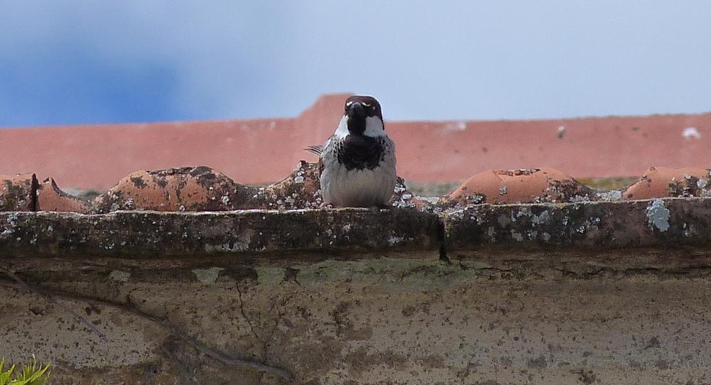 Italian Sparrow, Aleria Fort