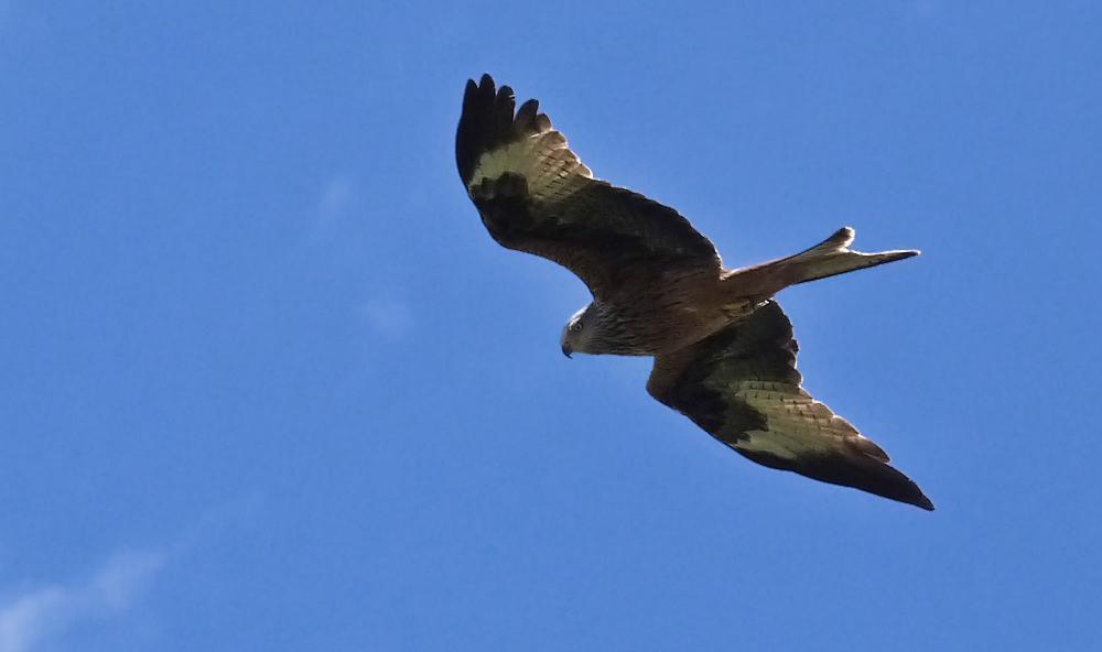 Red Kite, Aleria Fort