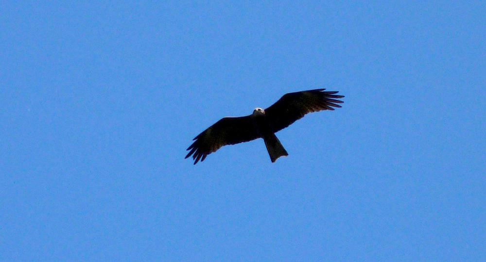 Black Kite, Aleria Fort