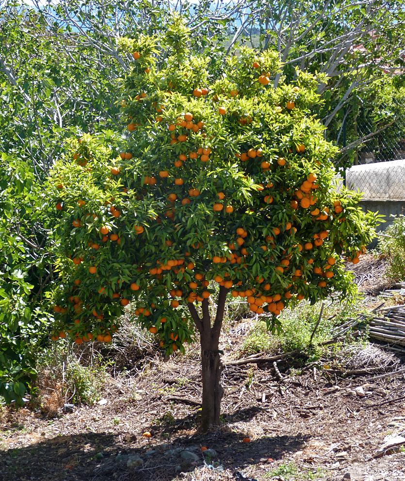 Orange tree, Aleria Fort