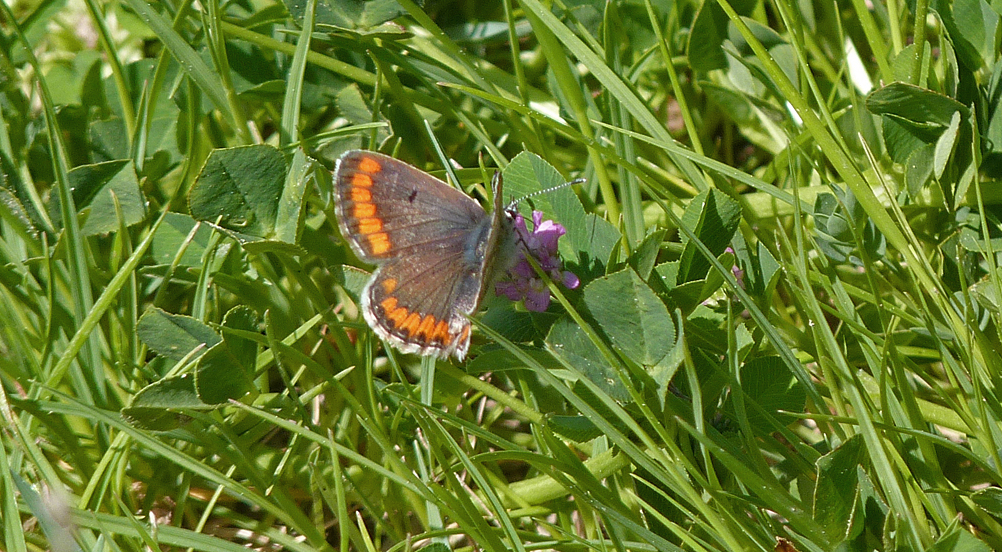 Brown Argus - Etang del Sale