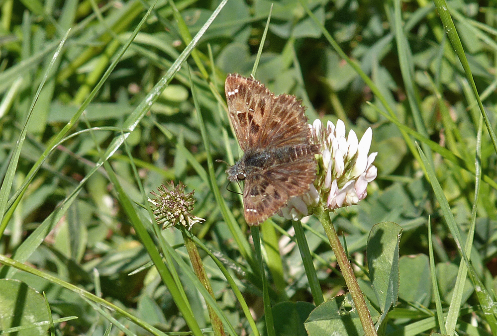 Mallow Skipper - Etang del Sale