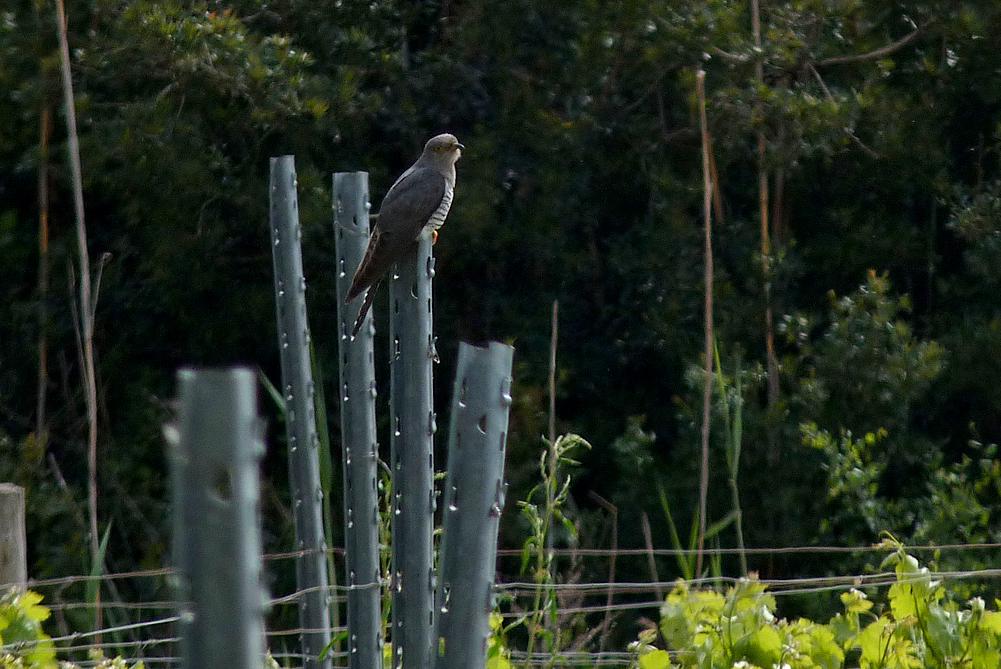 Cuckoo - Etang del Sale