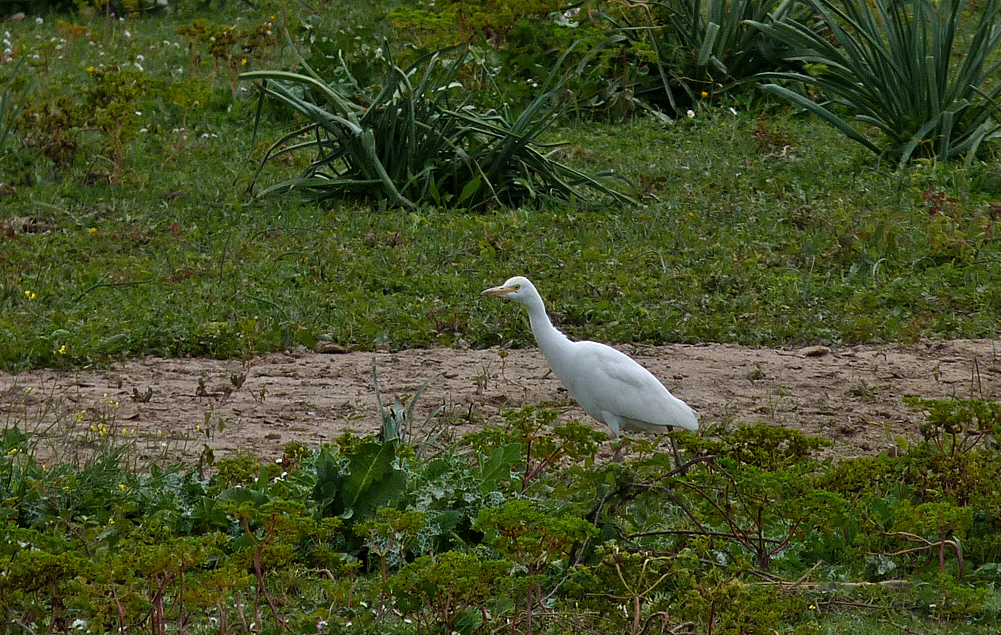 Cattle Egret - Aleria Water Tanks