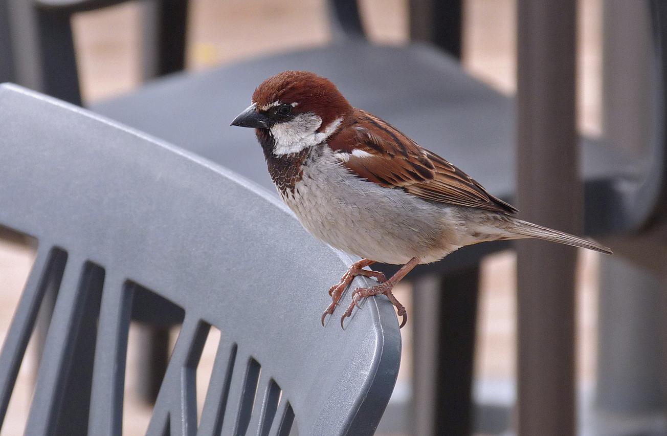 Italian Sparrow - Aleria beach